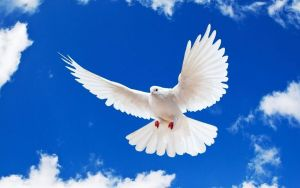 Single Peace-White-Dove_Projector