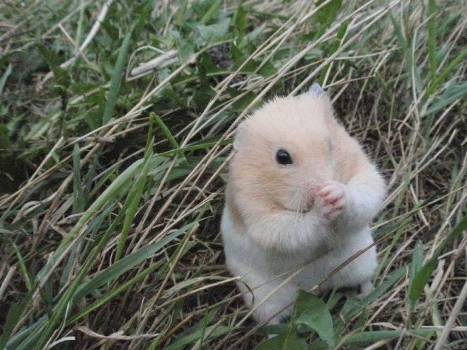 Hamster Praying