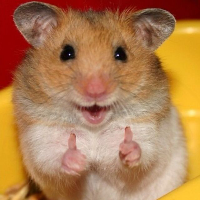 Thumbs Up Hamster_58c9e86c04cb775daeab4b9fa69178a3