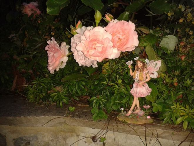 My Rose Fairy in Garden 24 June 2017