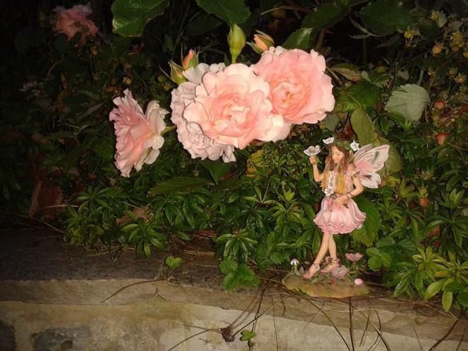 My Rose Fairy in Garden 24 June 2017