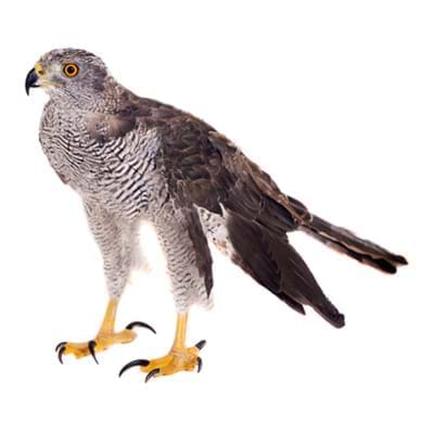 bird-species-goshawk400x400