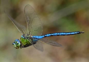 Emperor Dragonfly-51