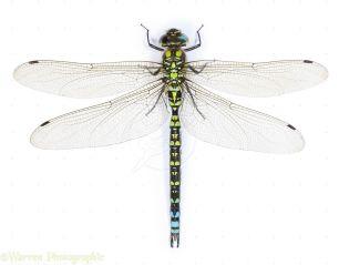 Hawker or Southern Dragonfly_31c33972081ea587254c032b79056a7f